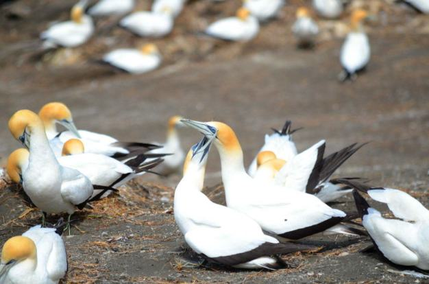 An image of Australasian gannets mating at the Muriwai Gannet Colony in New Zealand.