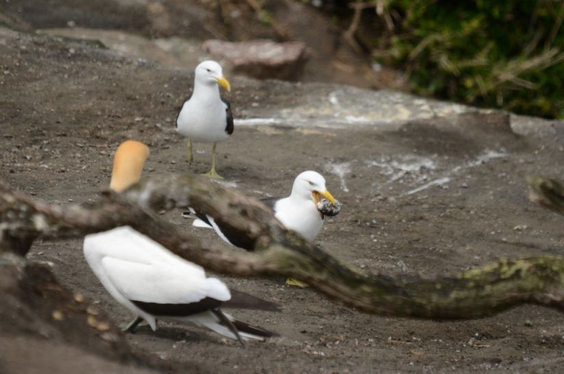 southern-black-backed-gull-steals-an-australasian-gannet-egg-at-the-muriwai-gannet-colony-waitakere-new-zealand-pic-1