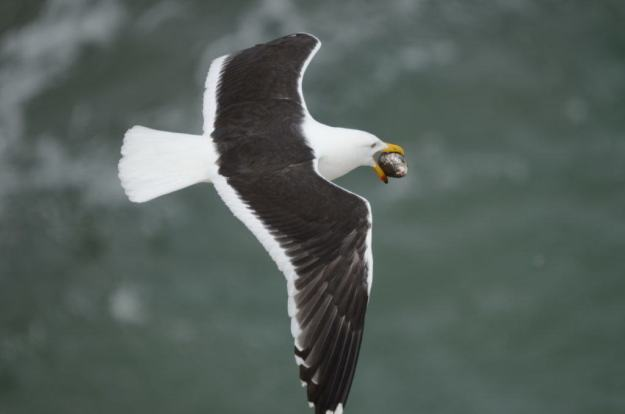 Image of a Southern Black-backed gull with an Australasian Gannet egg at Muriwai, North Island, New Zealand. Photography by Frame To Frame - Bob and Jean