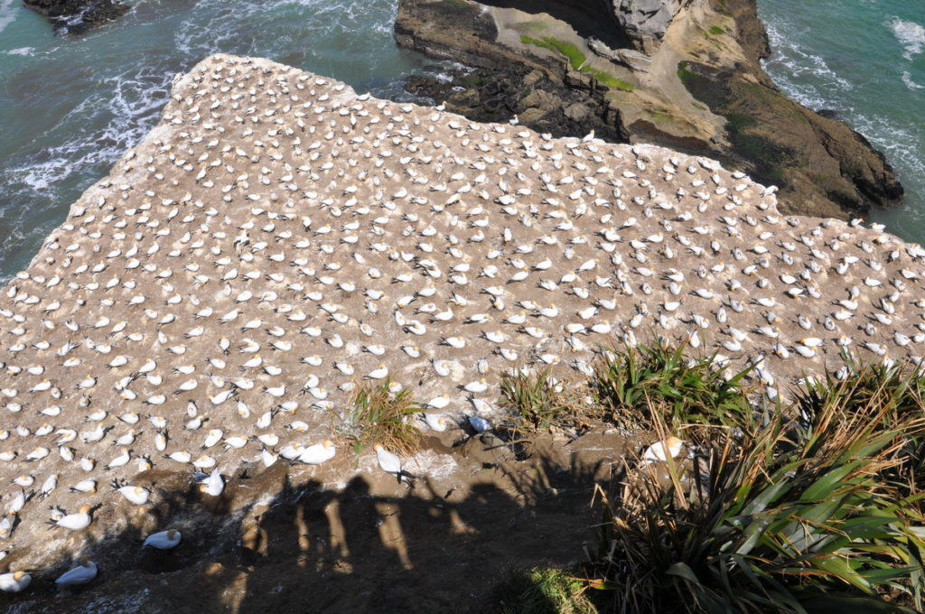 coastline-at-the-muriwai-gannet-colony-waitakere-new-zealand-2