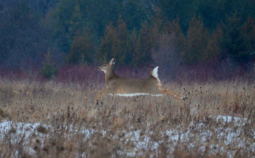 deer-at-lynde-shores