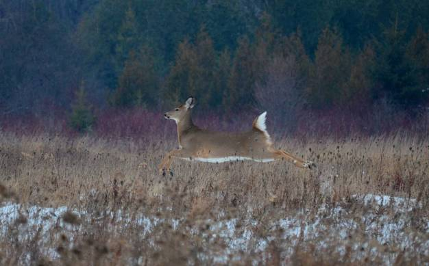 deer-at-lynde-shores