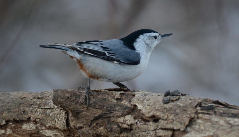 white-breasted-nuthatch-lynde-shores-whitby-ontario-pic-1