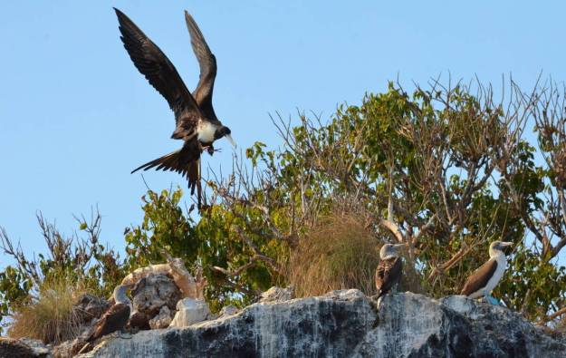 An image of an adult female magnificent frigatebird landing beside blue-footed booby on Isla Isabel in Mexico. Photography by Frame To Frame - Bob and Jean.