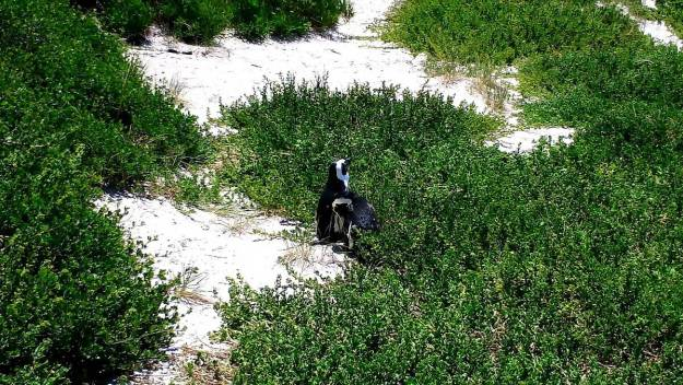 An image of African penguins among the shrubs on the sand dunes at Boulders Beach, South Africa.