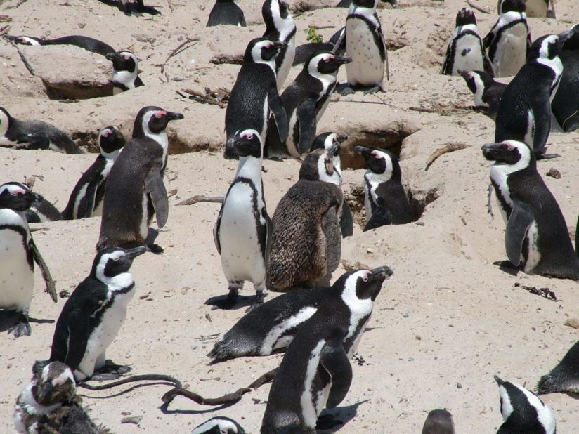 An image of several African penguins at Boulders Beach, Table Mountain National Park, South Africa.