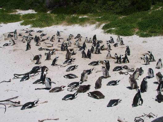 A wide angle image of a large group of african penguins nesting on the beach at Boulders Beach Park in South Africa. Photography by Frame To Frame - Bob and Jean.