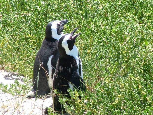 An image of two African penguins at Boulders Beach, Table Mountain National Park, South Africa.