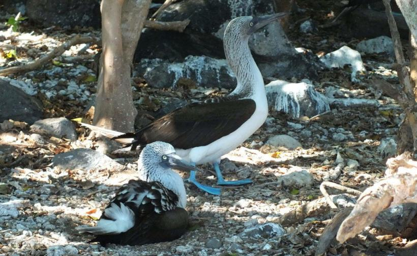 An image of two blue-footed booby birds sitting among trees on Isla Isabel off San Blas, Mexico. Photography by Frame To Frame - Bob and Jean.