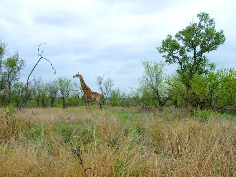 An image of a giraffe standing on the grasslands in Kruger National Park in South Africa. Photography by Frame To Frame - Bob and Jean.