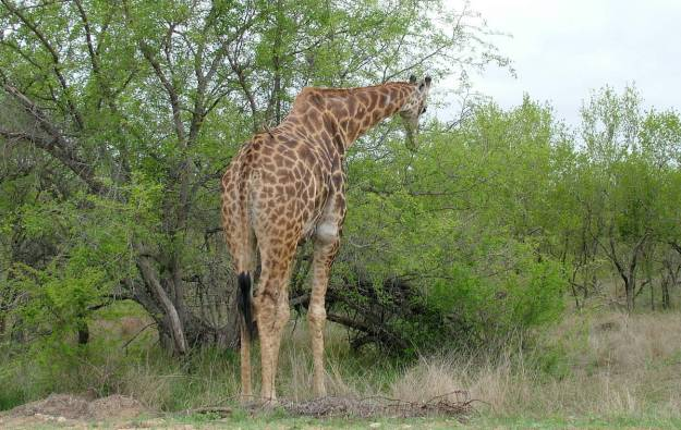 An image of a giraffe eating leaves from a tree in Kruger National Park in South Africa. Photography by Frame To Frame - Bob and Jean.