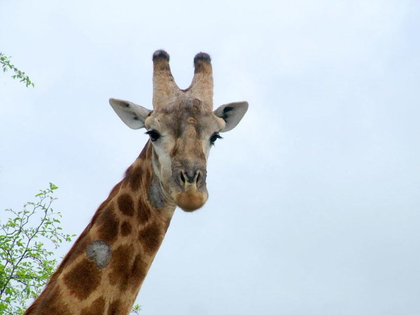 An image of a giraffe in Kruger National Park in South Africa. Photography by Frame To Frame - Bob and Jean.