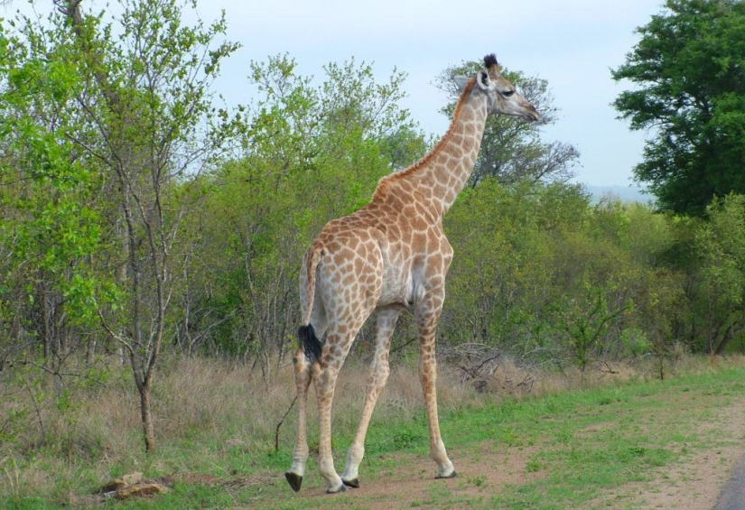 An image of a giraffe standing along the side of a dirt road in Kruger National Park in South Africa. Photography by Frame To Frame - Bob and Jean.