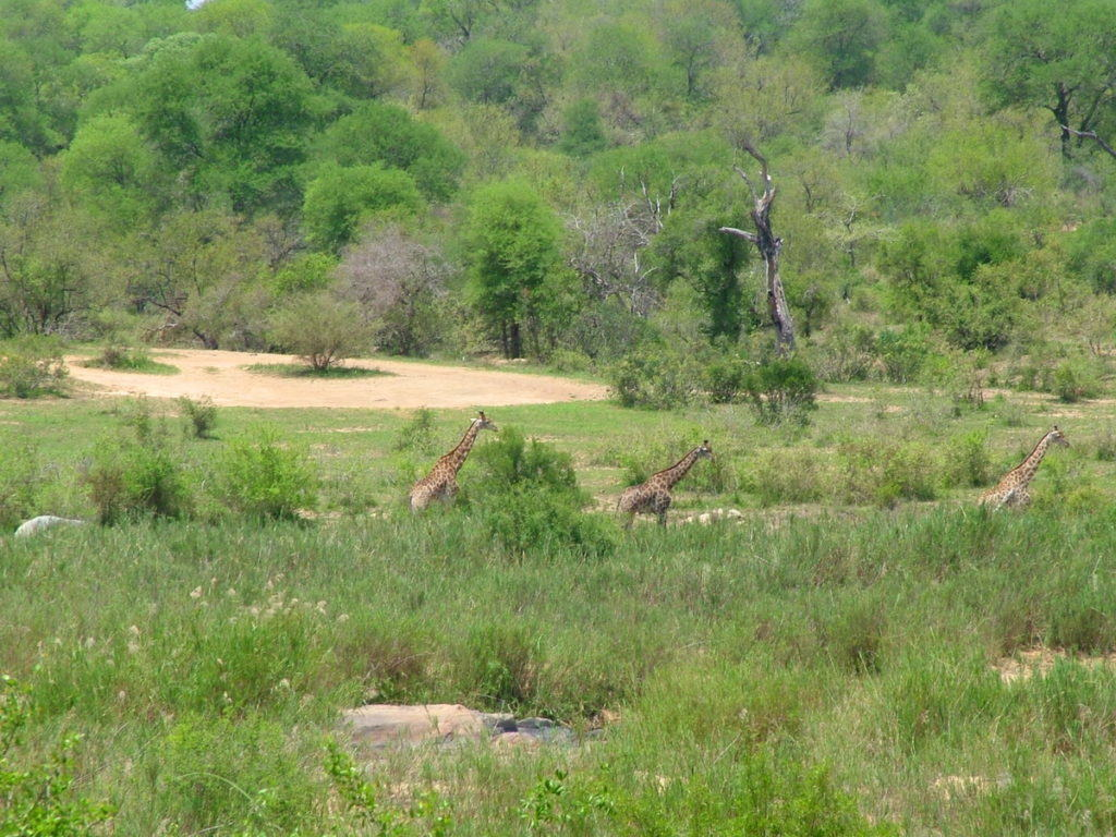 giraffes-in-kruger-national-park-south-africa-pic-1
