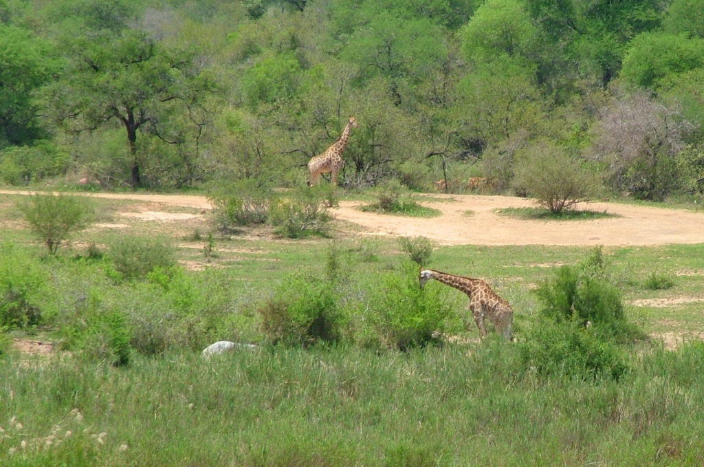 giraffes-in-kruger-national-park-south-africa-pic-3