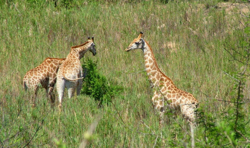 giraffes-in-kruger-national-park-south-africa-pic-4