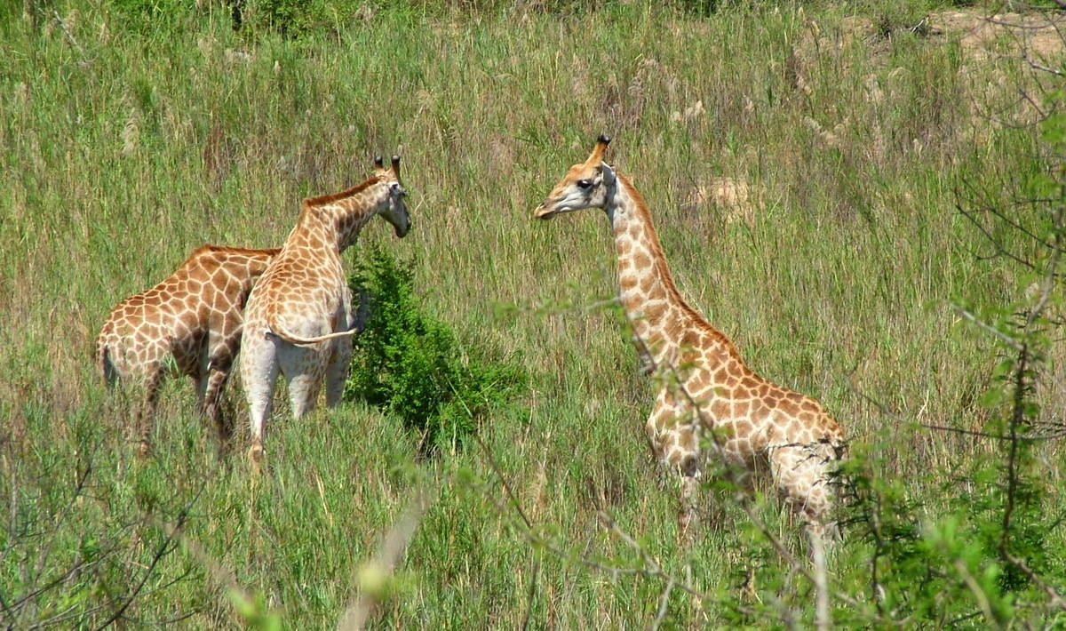 our encounters with cape giraffe in kruger national park