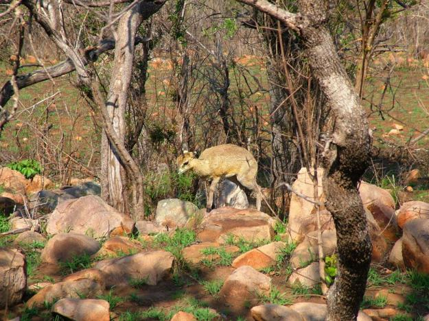 An image of a Male Klipspringer antelope near Nkumbe Lookout in Kruger National Park in South Africa.