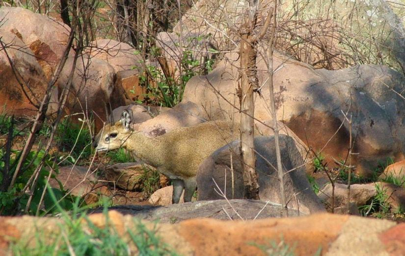 An image of a Klipspringer near Nkumbe Lookout in Kruger National Park in South Africa.