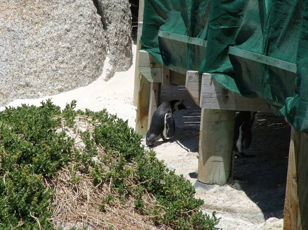 An image of African penguins walking underneath the viewing platform at Boulders Beach, South Africa.
