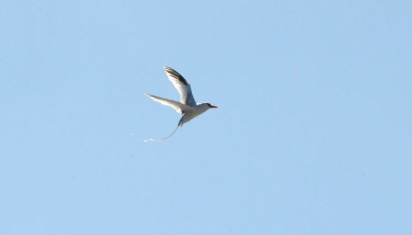 An image of a Red-billed tropicbird in flight over the Pacific Ocean off Isla Isabel in Mexico. Photography by Frame To Frame - Bob and Jean.