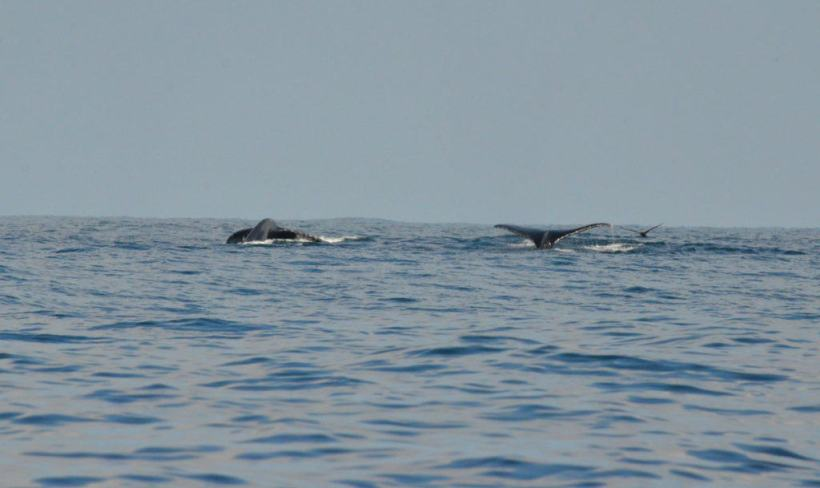 An image of three whales raising their tail flukes out of the water off Isla Isabel in Mexico. Photography by Frame To Frame - Bob and Jean.