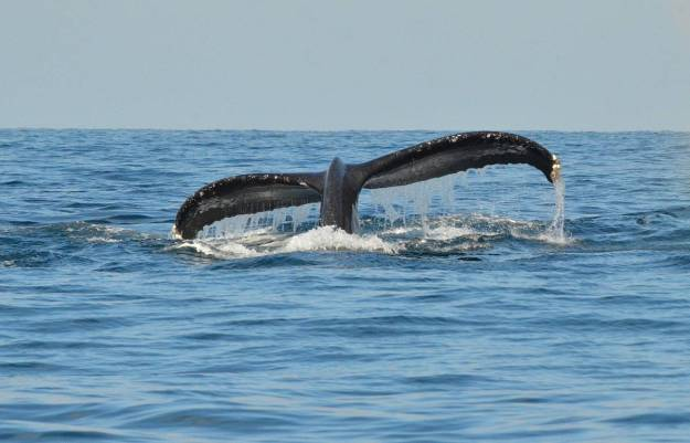 A whale off Isla Isabel off San Blas, Mexico. Photography by Frame To Frame - Bob and Jean.