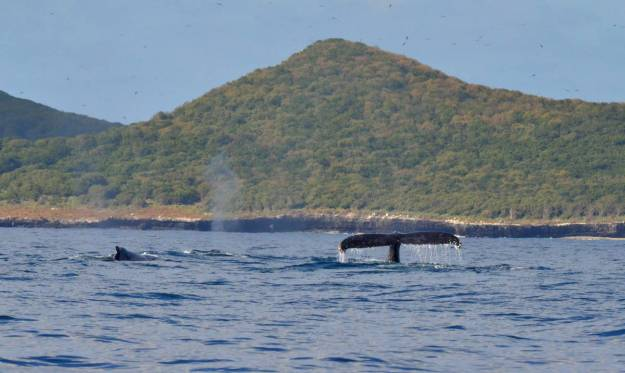 An image of a pod of whales off Isla Isabel in Mexico. Photography by Frame To Frame - Bob and Jean.