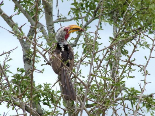 An image of a Yellowbilled Hornbill in Kruger National Park, South Africa. Photography by Frame To Frame - Bob and Jean.