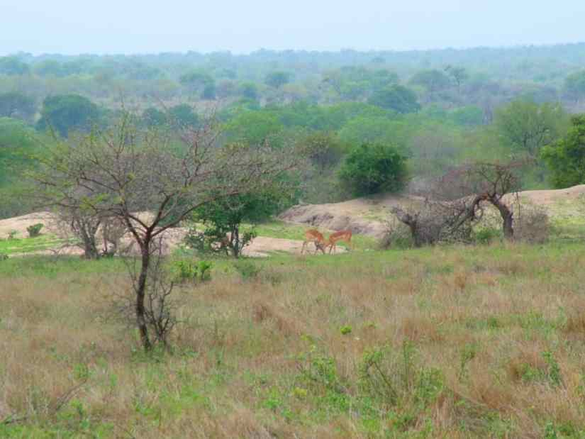 An image of Impala's in Kruger National Park, South Africa. Photography by Frame To Frame - Bob and Jean.