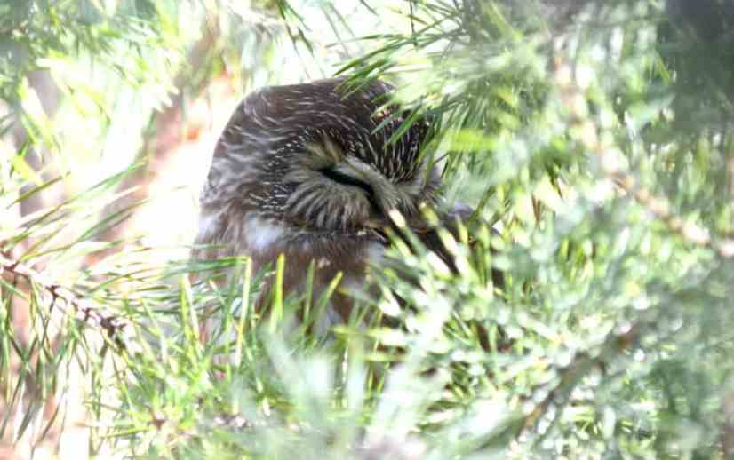 Image of Northern Saw-whet Owl sleeping in a pine tree near Oshawa, Ontario, Canada. Photography by Frame To Frame - Bob and Jean