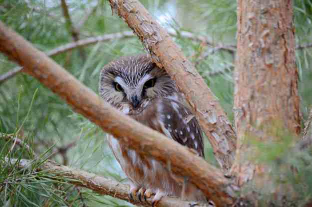 Image of Northern Saw-whet Owl sitting on the branch of a pine tree near Oshawa, Ontario, Canada. Photography by Frame To Frame - Bob and Jean