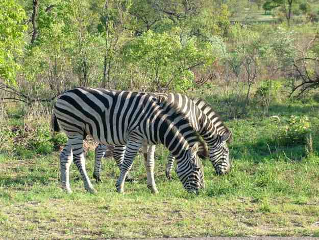 An image of Zebra in Kruger National Park, South Africa. Photography by Frame To Frame - Bob and Jean.