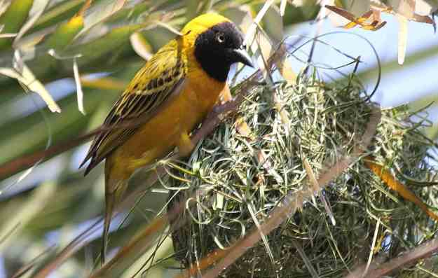 Image of a lesser-masked weaver sitting on the top of its nest in Kruger National Park, South Africa