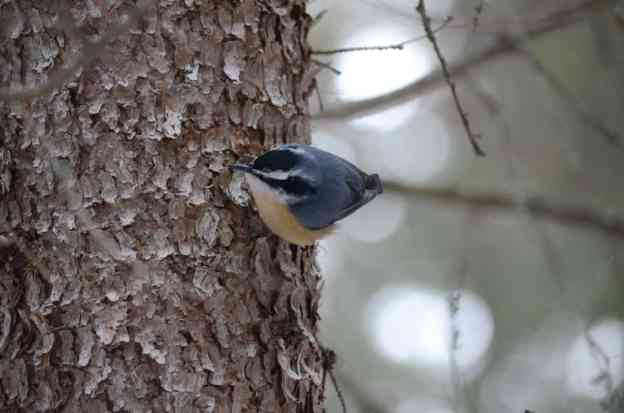 Image of a Red-breasted nuthatch in Algonquin Park in Ontario, Canada. Photography by Frame To Frame - Bob and Jean