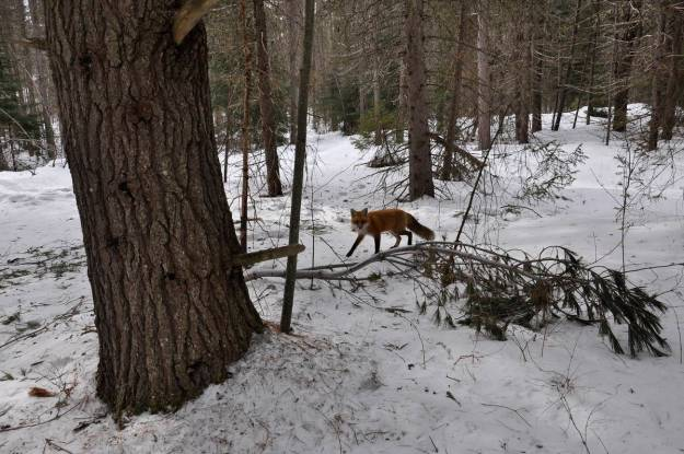 Image of a red fox near the spruce bog in the winter in Algonquin Park in Ontario, Canada. Photography by Frame To Frame - Bob and Jean