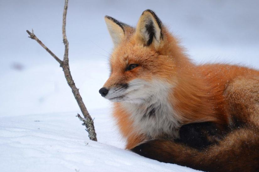 Image of a red fox sitting on the snow in Algonquin Park in Ontario, Canada. Photography by Frame To Frame - Bob and Jean