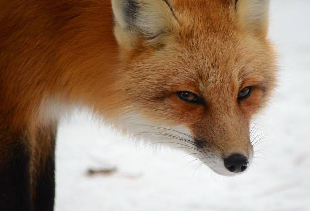 Image of a red fox looking toward the lens of a camera in Algonquin Park in Ontario, Canada. Photography by Frame To Frame - Bob and Jean