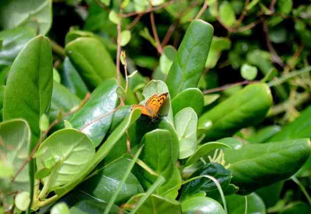 an image of a Rauparaha's Copper Butterfly on waxy green leaves at Muriwai, New Zealand