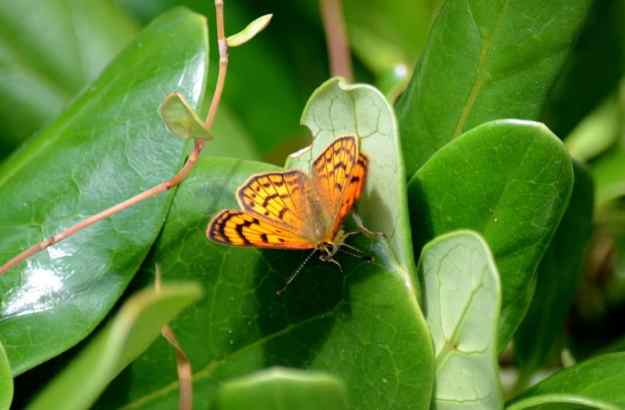 an image of a closeup of a Rauparaha's Copper Butterfly at Muriwai, New Zealand