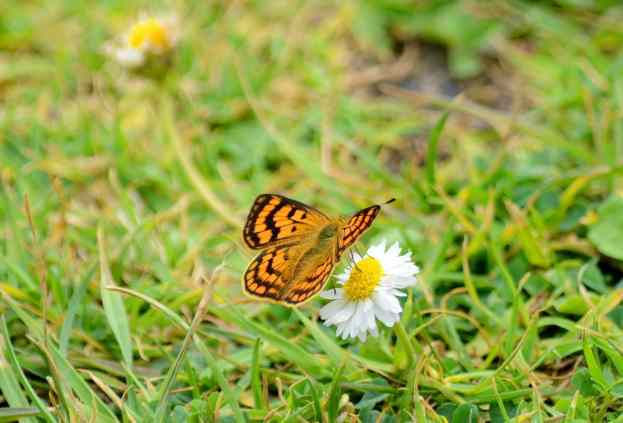 an image of a Rauparaha's Copper Butterfly on a daisy near Muriwai, New Zealand