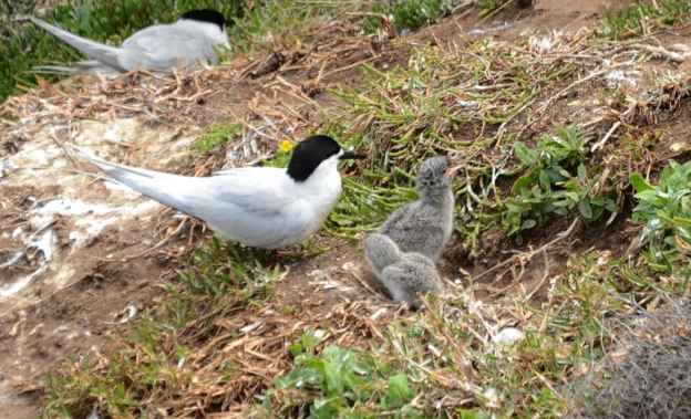 An image of a White-fronted Tern with two chicks at Muriwai in New Zealand.
