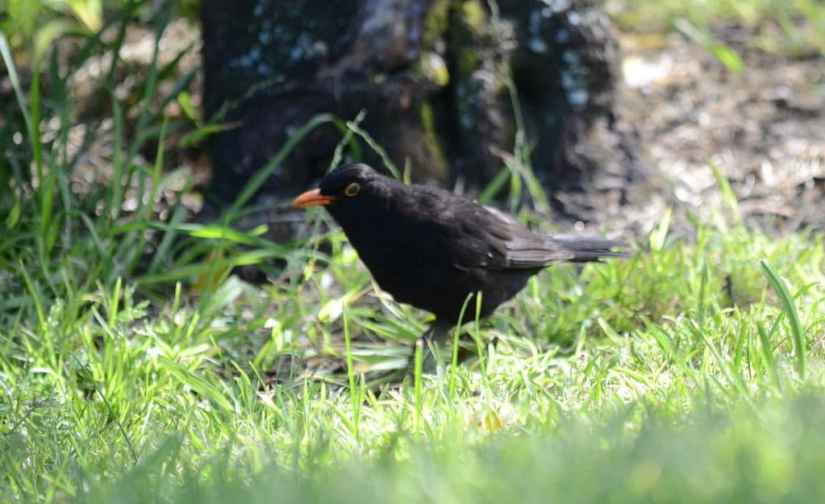 An image of a Eurasian Blackbird in the parking lot beside the Karekare Stream near Auckland, New Zealand.