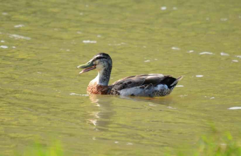An image of a Grey duck mallard hybird swimming on Karekare Stream near Auckland, New Zealand.