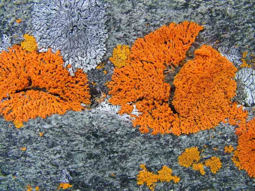 orange elegant sunburst lichen on quirpon island, newfoundland, canada