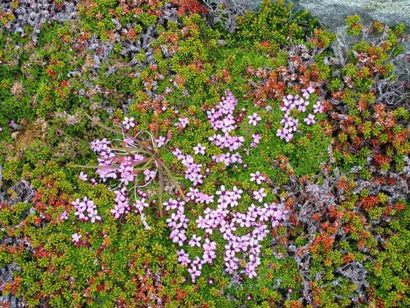 moss campion flowers on quirpon island, newfoundland, canada