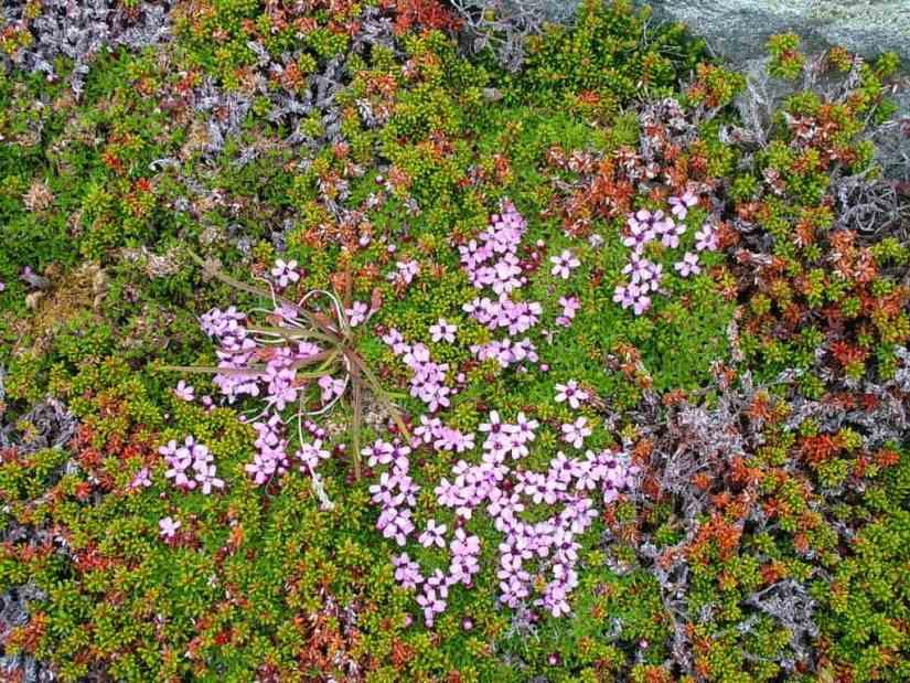 moss campion flowers on quirpon island, newfoundland, canada