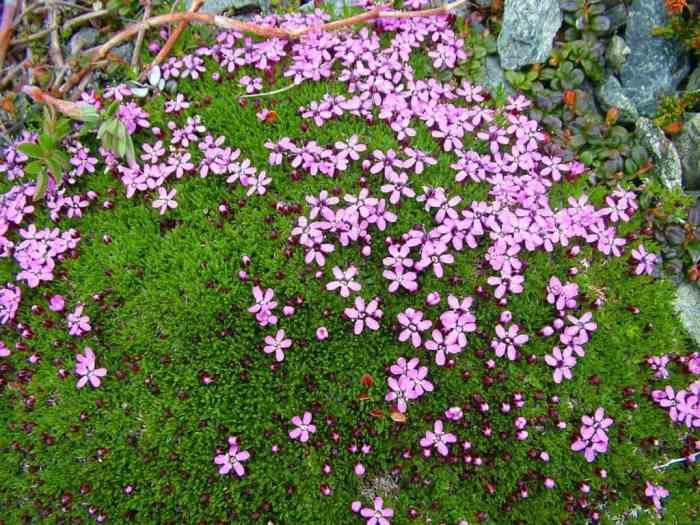 pink moss campion flowers on quirpon island, newfoundland, canada