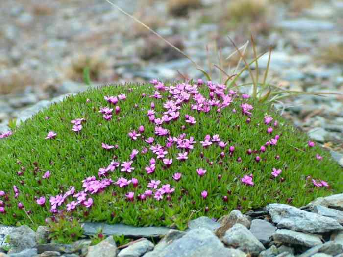 a mound of Moss Campion on quirpon island, newfoundland, canada