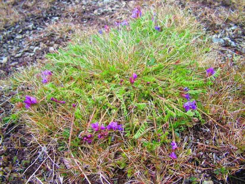 newfoundland oxytrope flowers on quirpon island, newfoundland, canada